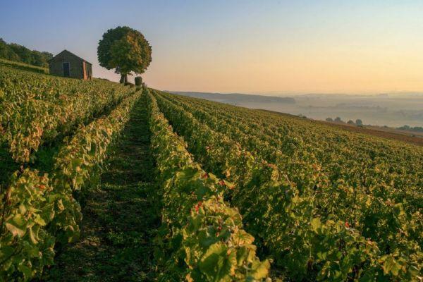 Burgundy Vineyards Sunset