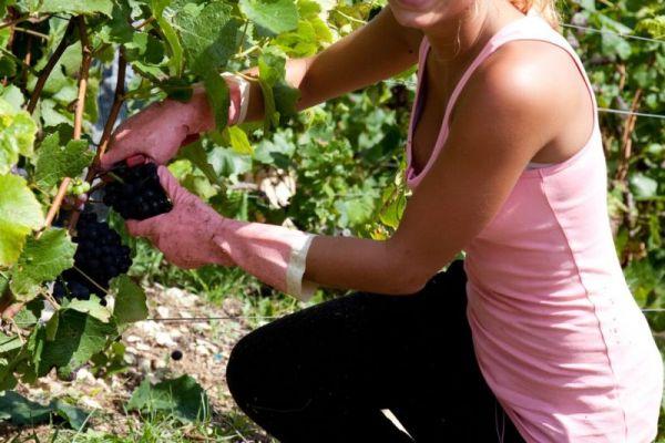Girl Wine Harvesting