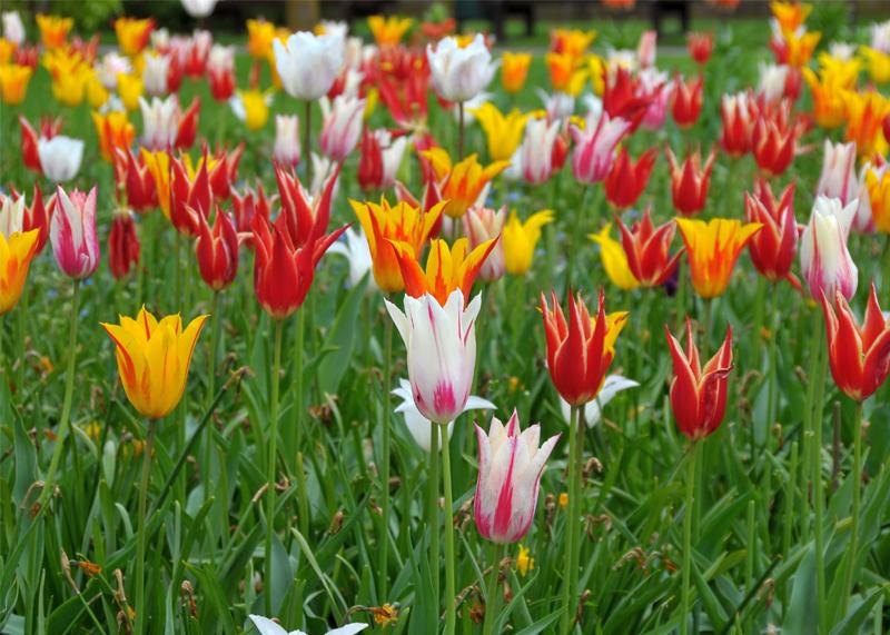Panache Tulips