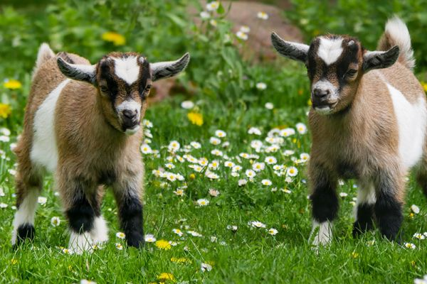 A fun choice on our Family Charter cruises in Holland is a trip to Geitenboerderij goat farm