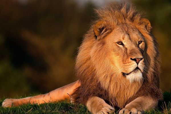 Lions can be found at Sigean African Wildlife Reserve