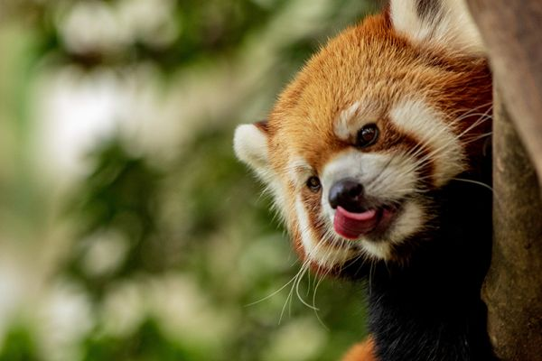 Red Pandas can be seen at Saint Croix animal park on our Panache Family Charter holidays