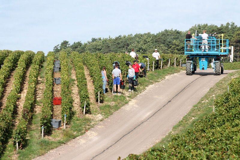 Wine Harvest Alexandre Bonnet