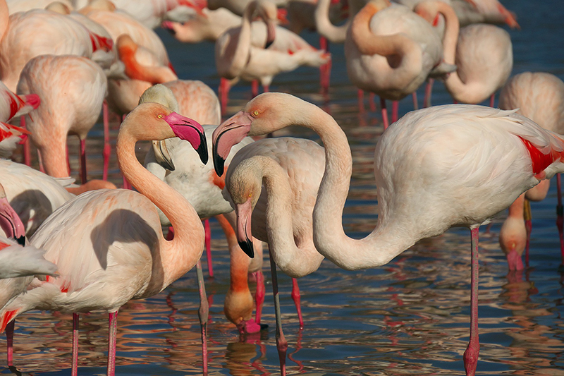 Flamingoes can be spotted in Spring on the Camargue