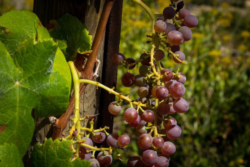 Bordeaux Wine Guide Grapes