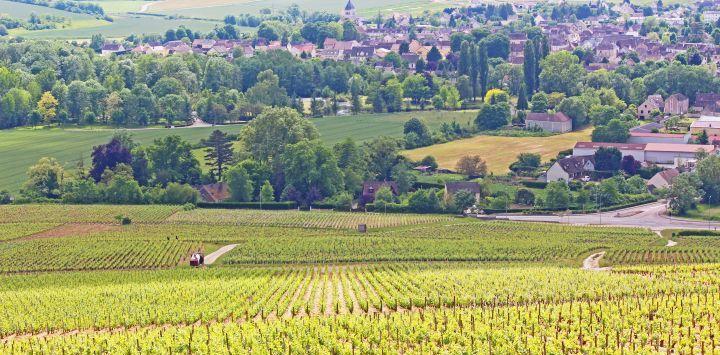 Vineyards in Chablis