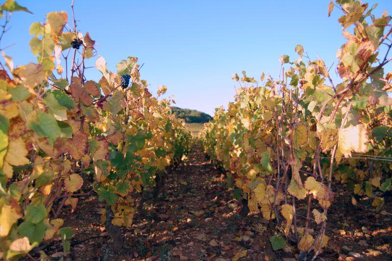 Burgundy Wine Autumn Vineyards
