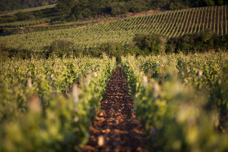 UNESCO World Heritage-listed vineyards belonging to the Domaine Chanson can be visited on a L'Impressioniste luxury barge cruise