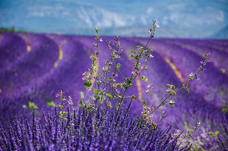 Provence lavendar field
