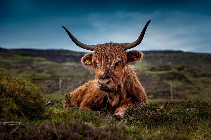 Highland Cow found in the Scottish Highlands